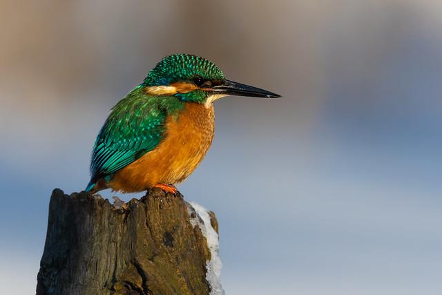 Common Kingfisher (m)