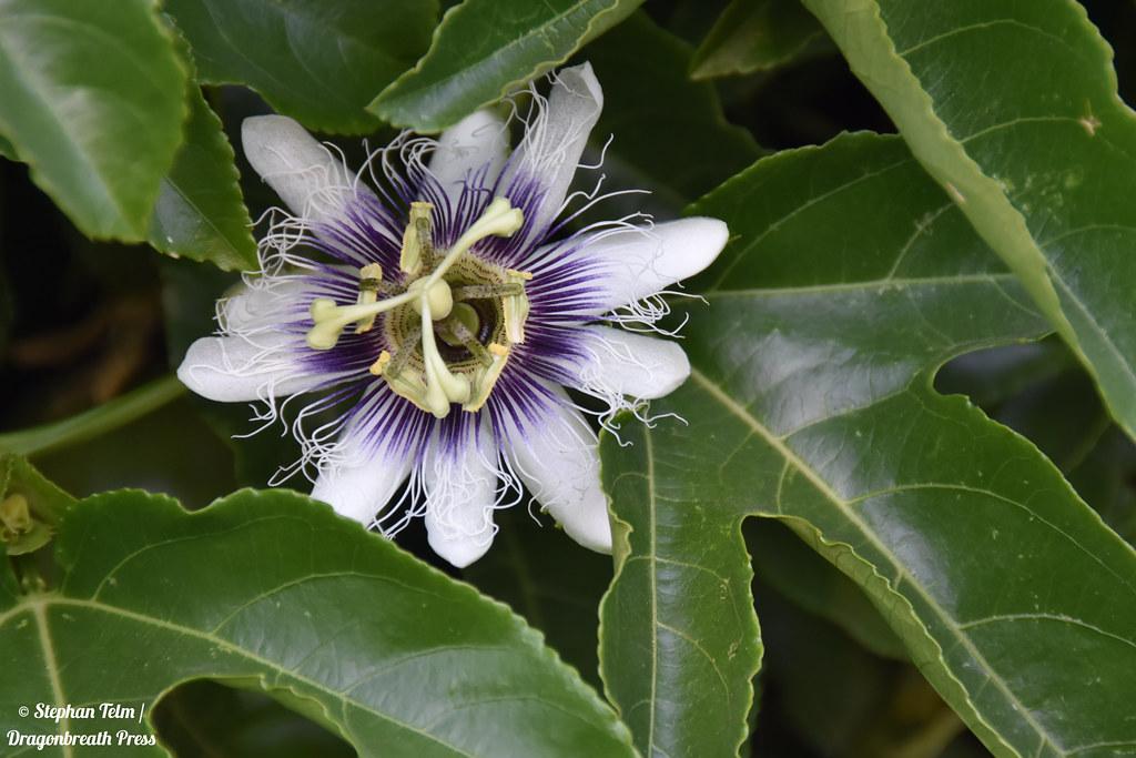 DSC_5256_Passionflower