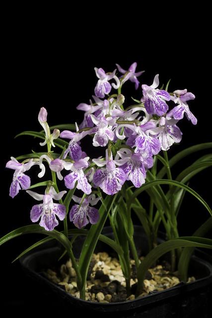 Ponerorchis graminifolia 'Ayame' Rchb.f., Linnaea 25: 228 (1852).