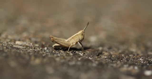 very small grasshopper ( nymph )