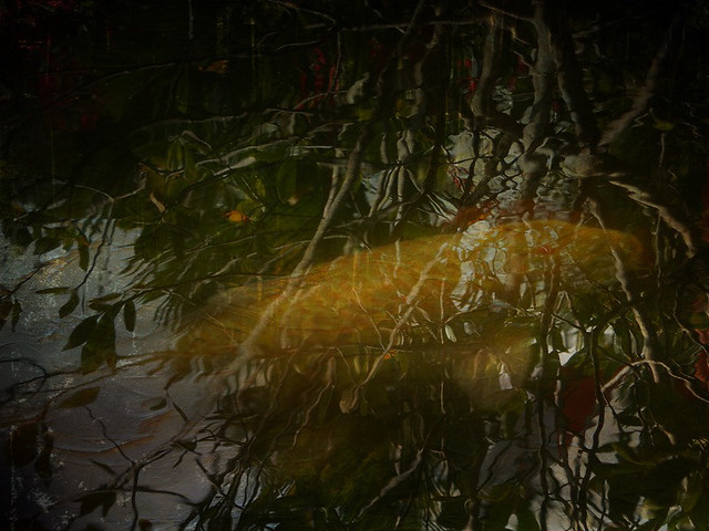 a golden Koi fish in a pond reflecting the leafy branches of overhead trees in the Puerto Vallarta Botanical Garden in Mexico using the app DistressedFX