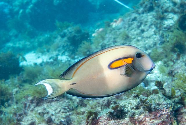 Orange blotch surgeonfish A. olivaceus #marineexplorer