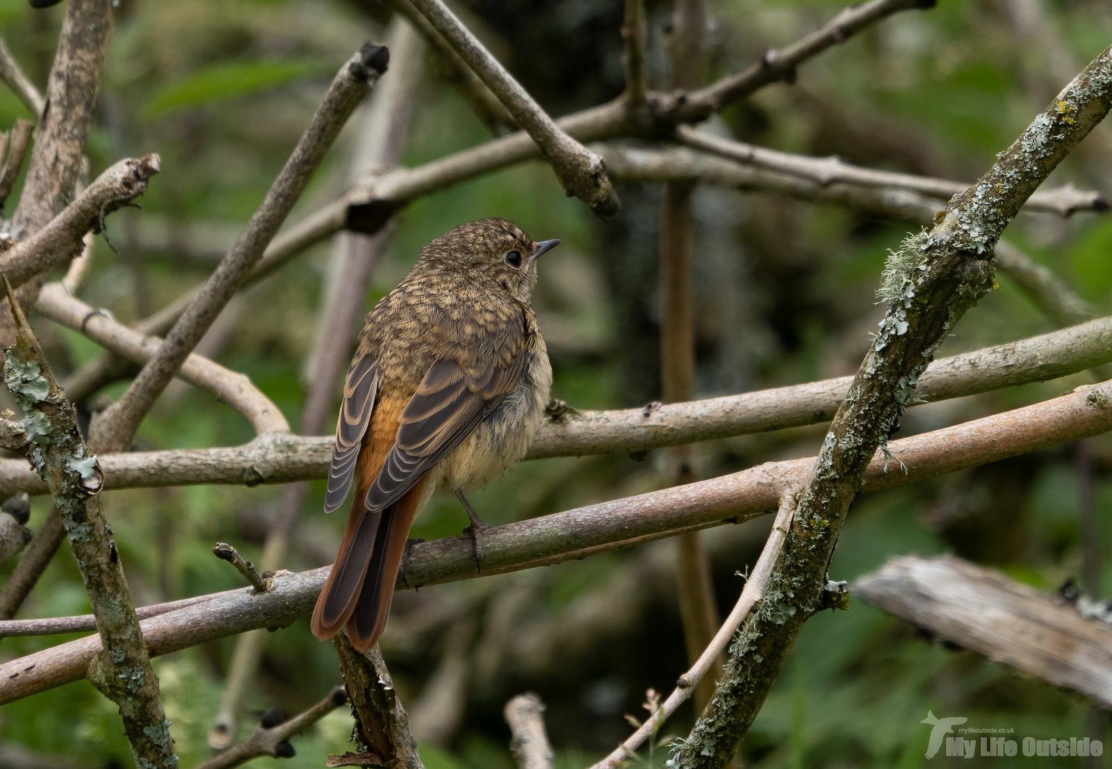 P6253382 - Redstart, Dinefwr