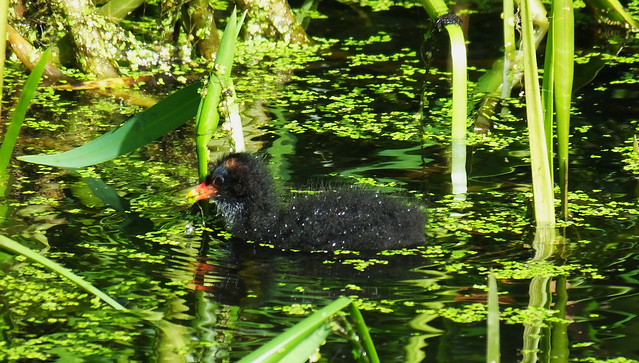 Moorhen and Chicks 03