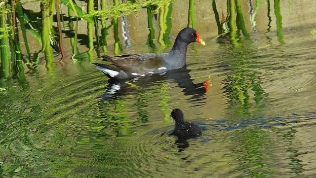 Moorhen and Chicks 01