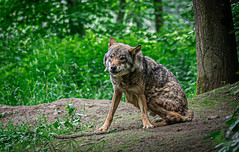 Gray wolf - Canis lupus - Wolf
