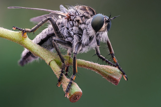 Eutolmus rufibarbis - Roodbaardroofvlieg (2)