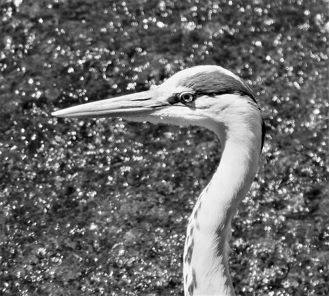 Grey Heron In Greyscale