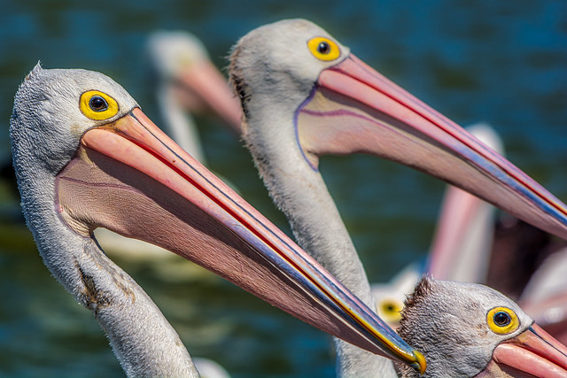 Pelicans at The Entrance