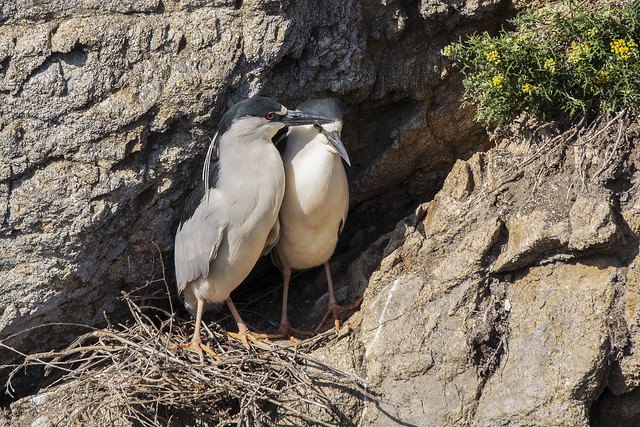 Black-crowned Night-herons, Touching Moment
