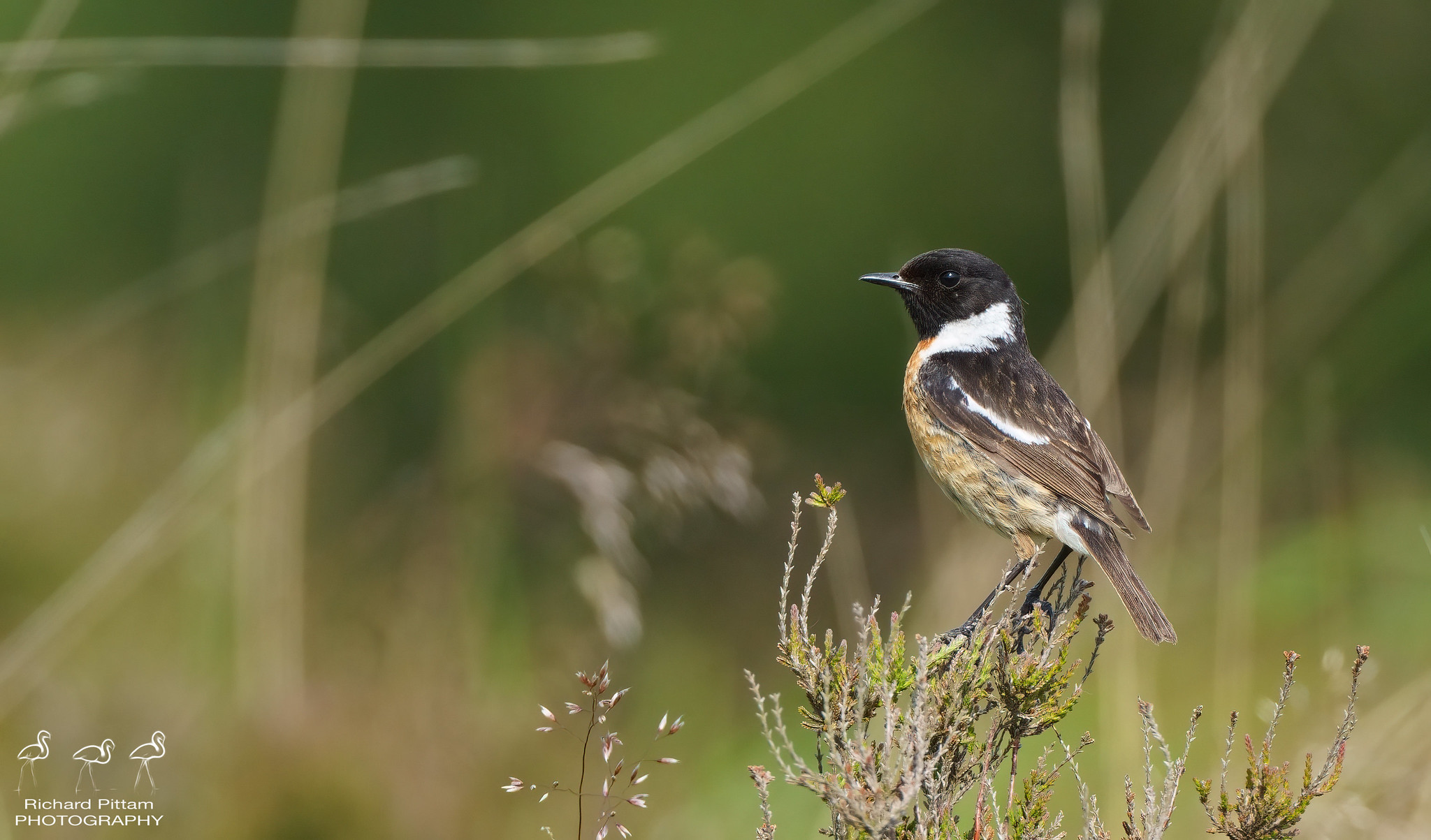 Stonechat with annoying background..