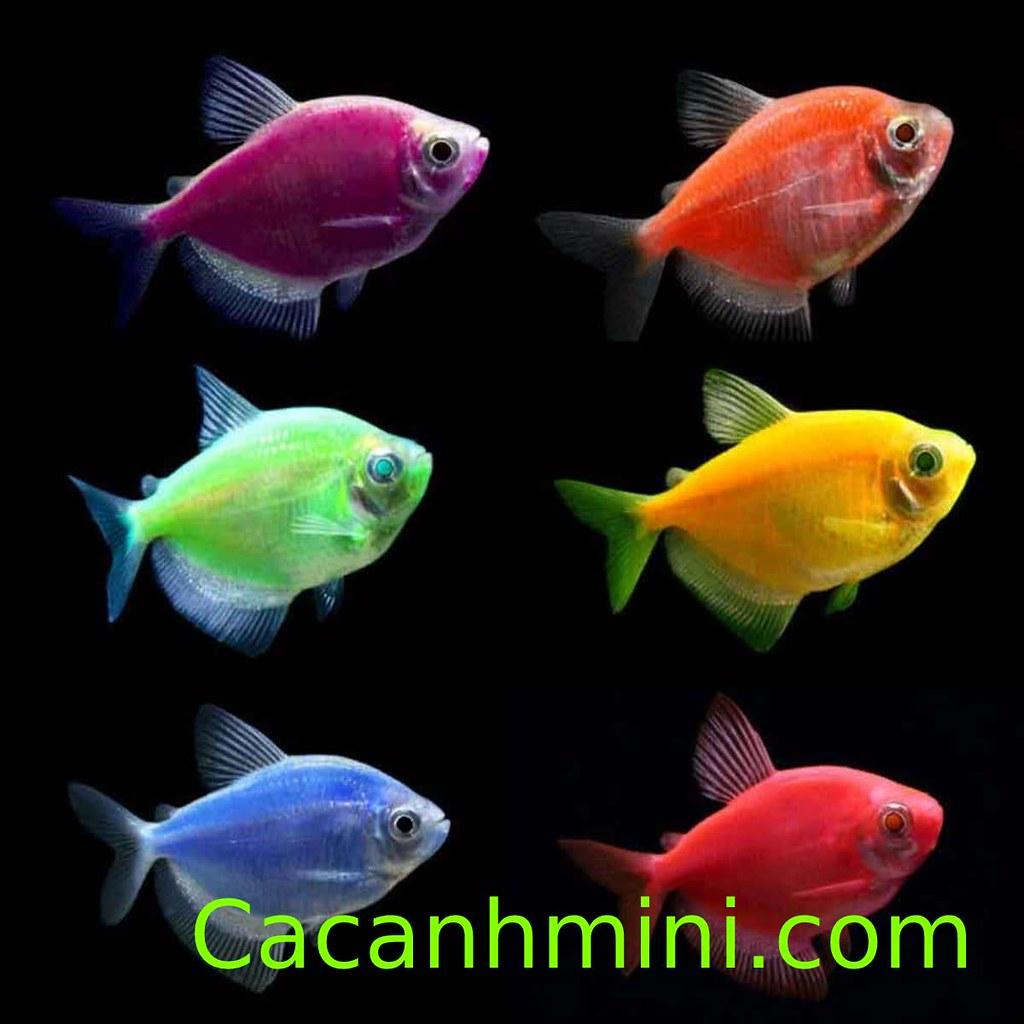 Cá Cánh Buồm nuôi chung với cá nào