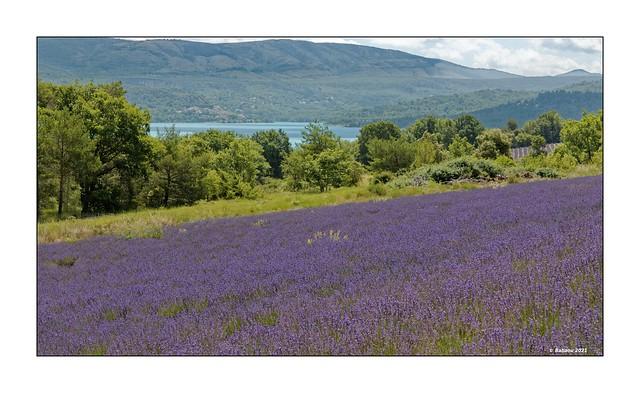 Lavendel am Lac de Sainte Croix