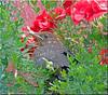 Amselnachwuchs Karl - blackbird offspring Karl