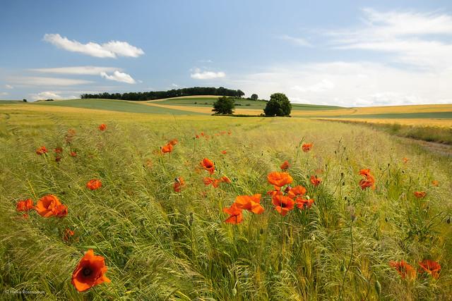 Flowering poppies in a field
