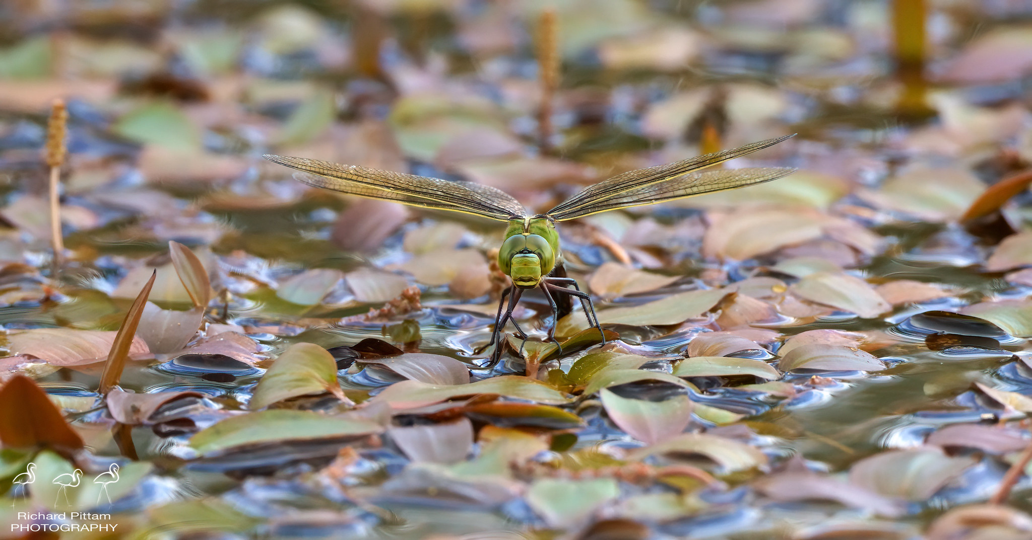 female Emperor Dragonfly ovipositing