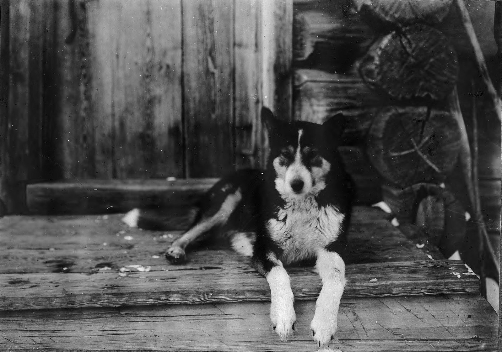 Промысловая собака на белку