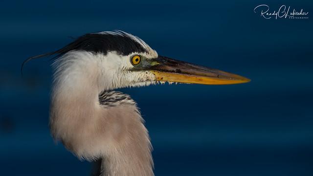 Great Blue Heron   Ardea herodias   2021 - 6