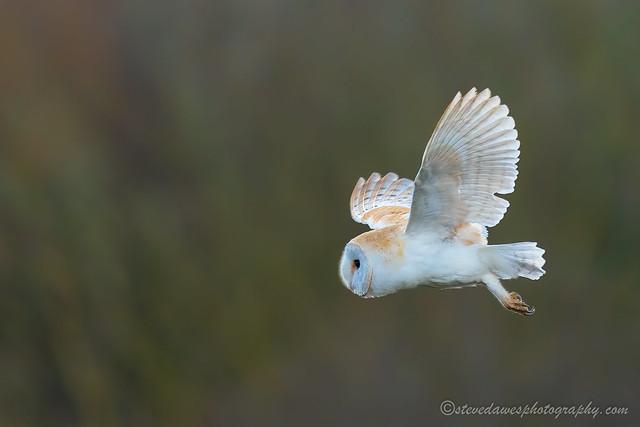 Barn Owl ( Tyto alba )