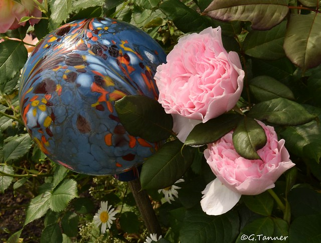 Mein Rosengarten 2021 - Sangerhäuser Jubiläumsrose