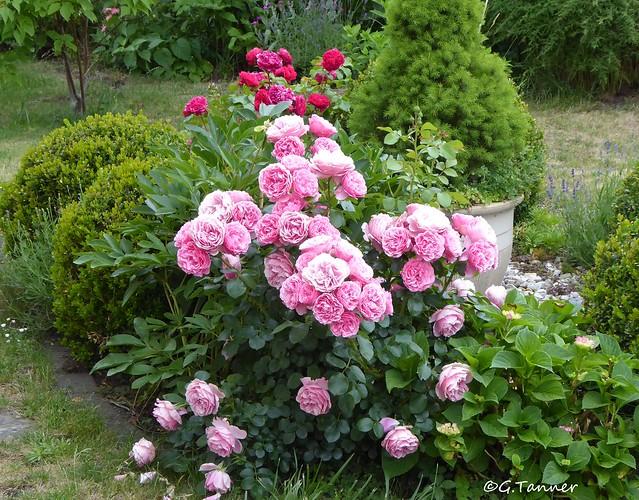 Mein Rosengarten 2021 -