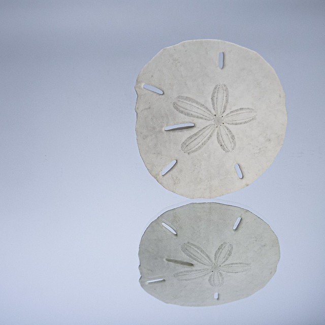 Sand Dollar Reflected in a Mirror