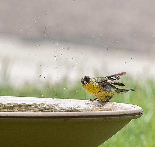 lesser_goldfinch_in_bird_bath-20210629-100