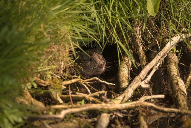 Детеныш ондатры выглядывает из своего логова