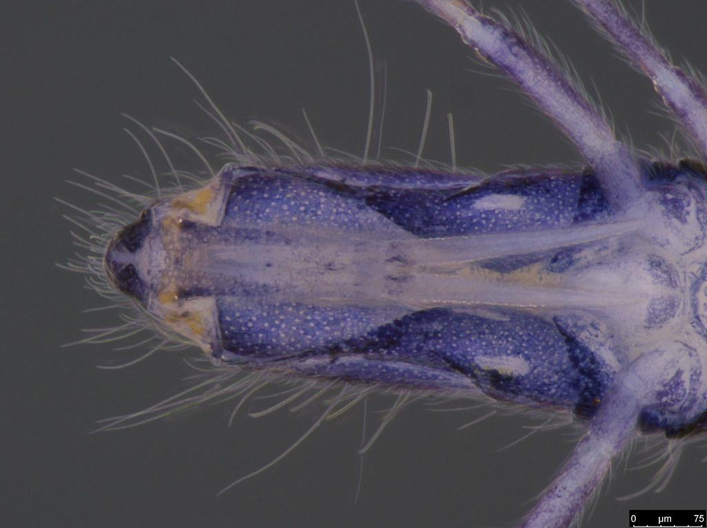24e - Entomobrya sp.