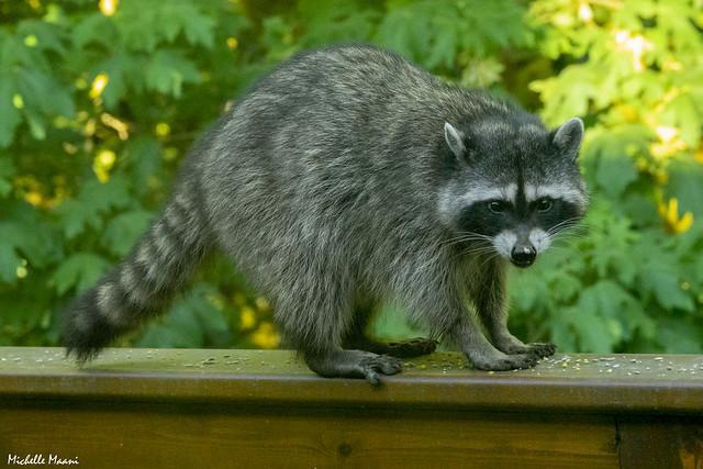 Sunset Raccoon