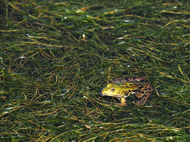 Wasserfrosch - Water frog
