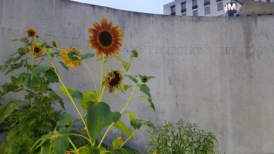 Dupont Sunflowers
