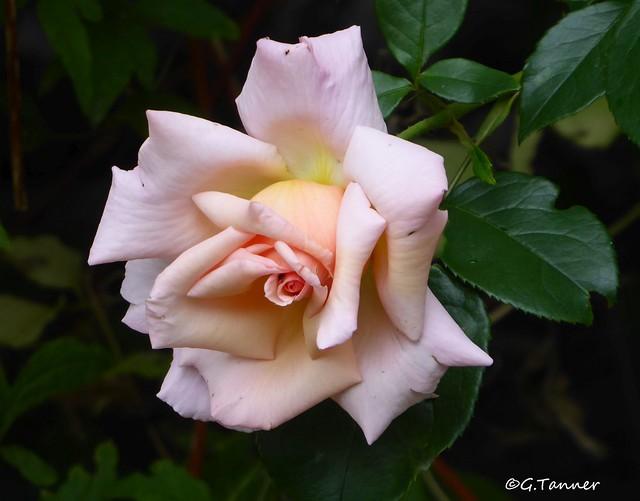 Mein Rosengarten 2021 - Kletterrose Compassion