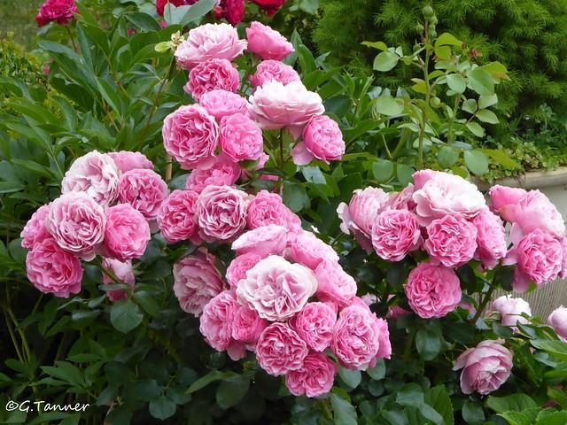Mein Rosengarten 2021 - Rose Leonardo da Vinci