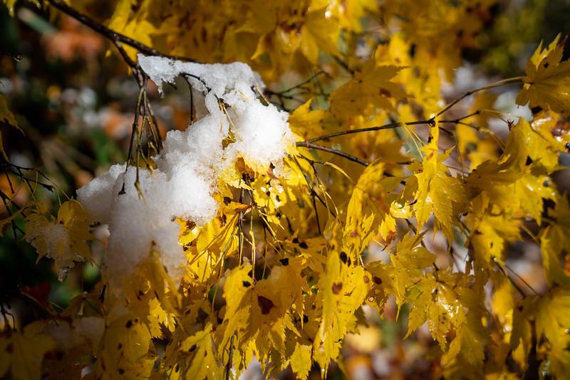 新雪と紅葉