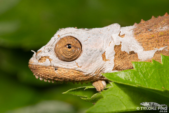 Bradypodion caffer - Transkei Dwarf Chameleon.