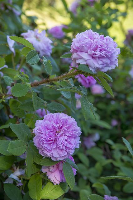 Moss Rose, Darts Hill