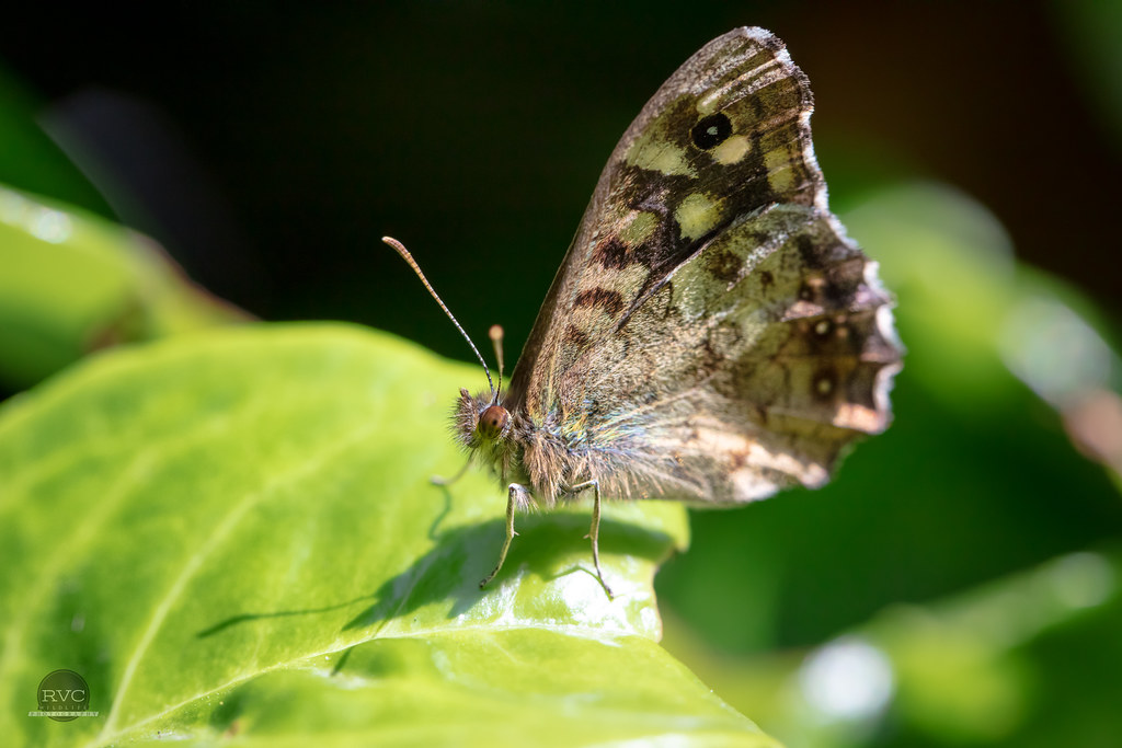 Speckled Wood Butterly