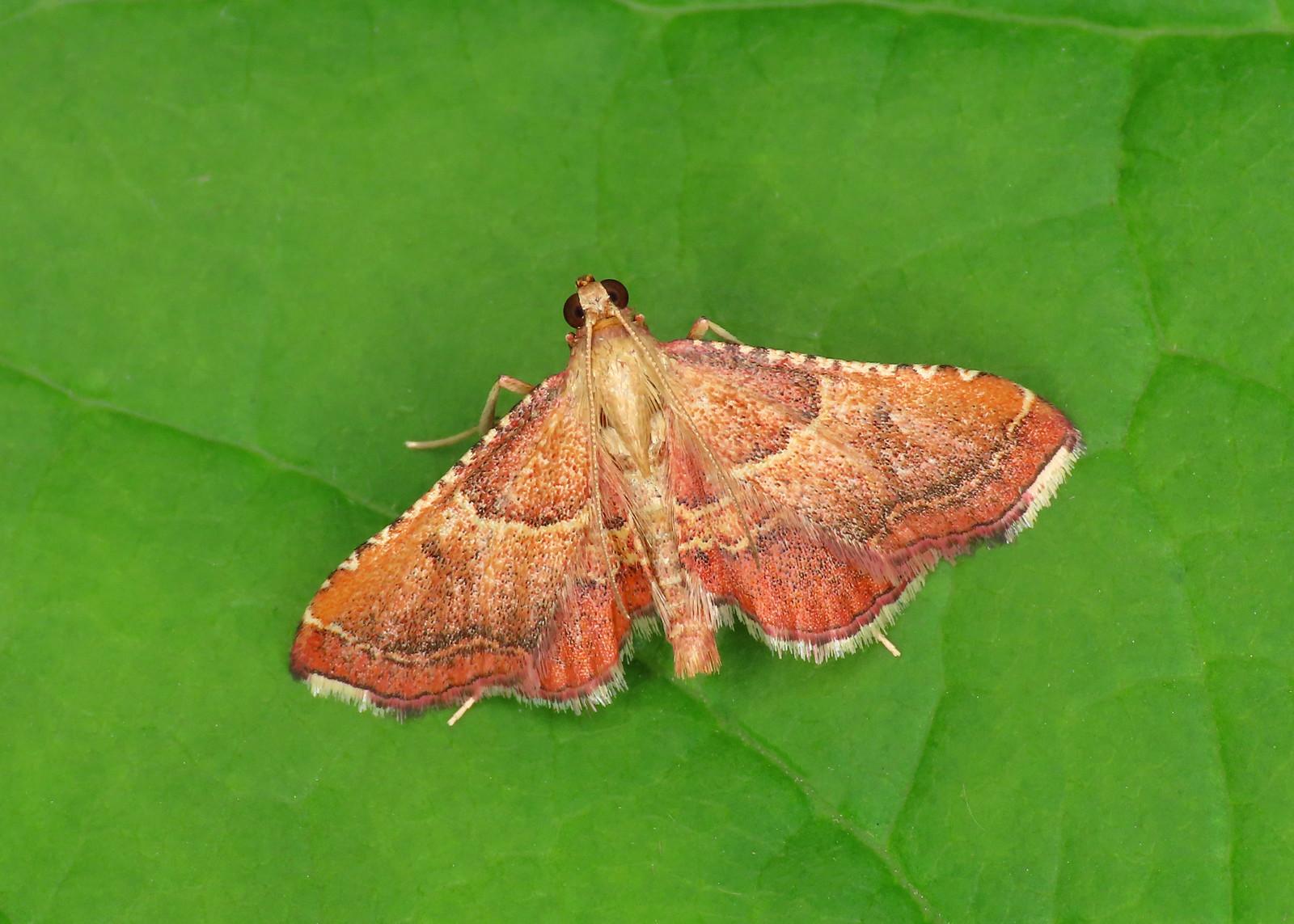 62.077 Rosy Taby - Endotricha flammealis