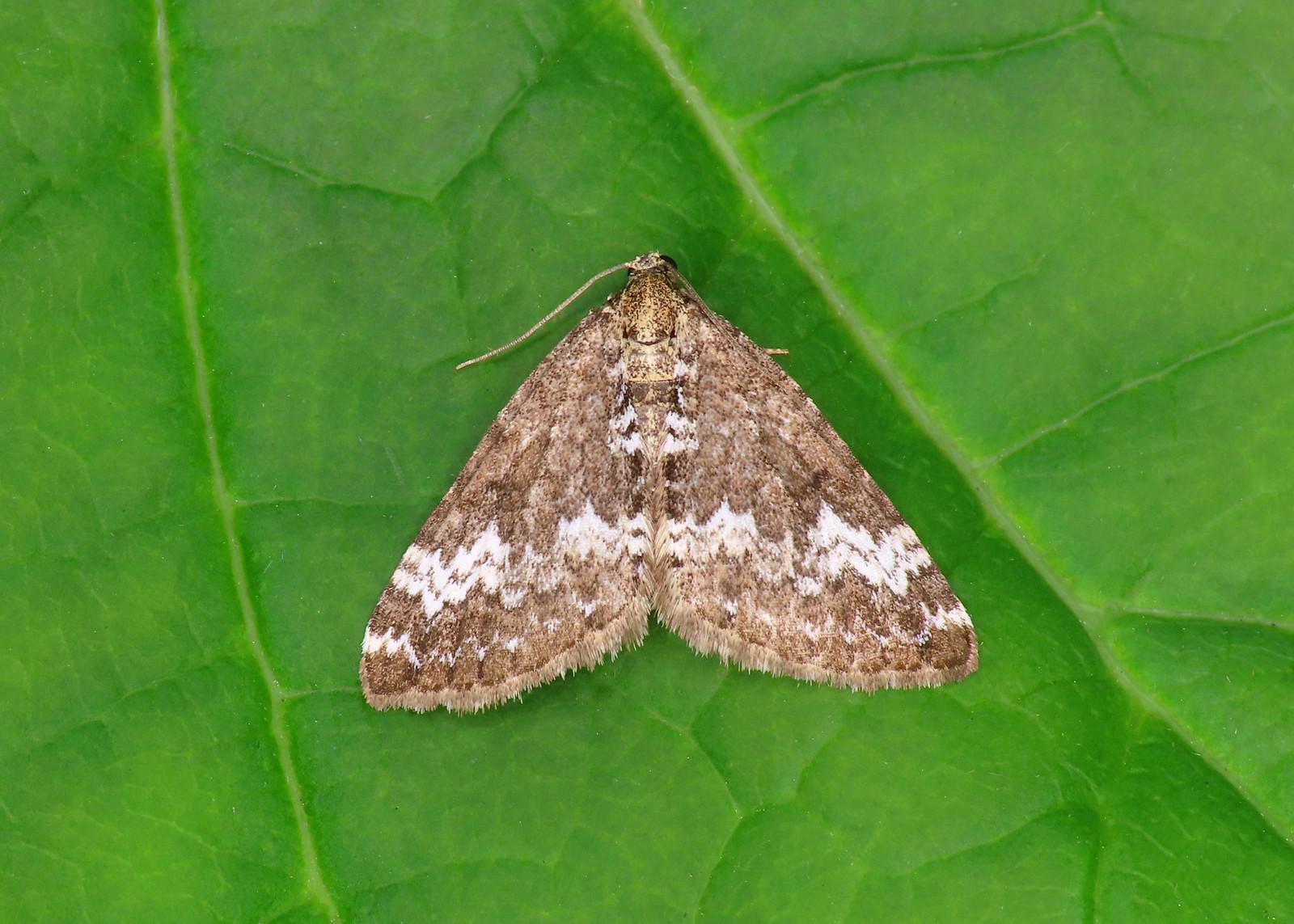 70.133 Small Rivulet - Perizoma alchemillata