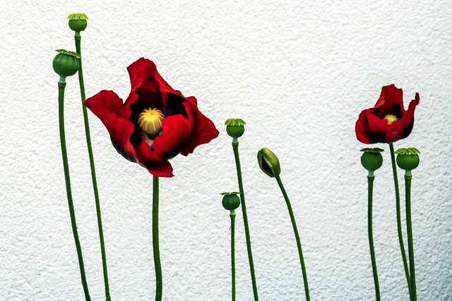 Poppies Against a White Wall