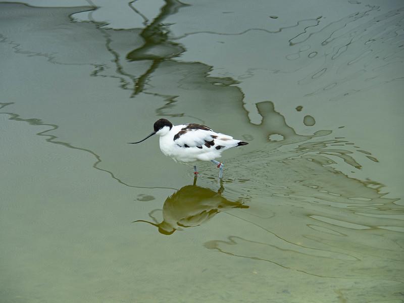179-2021-365-(2006) Avocet in the aviary