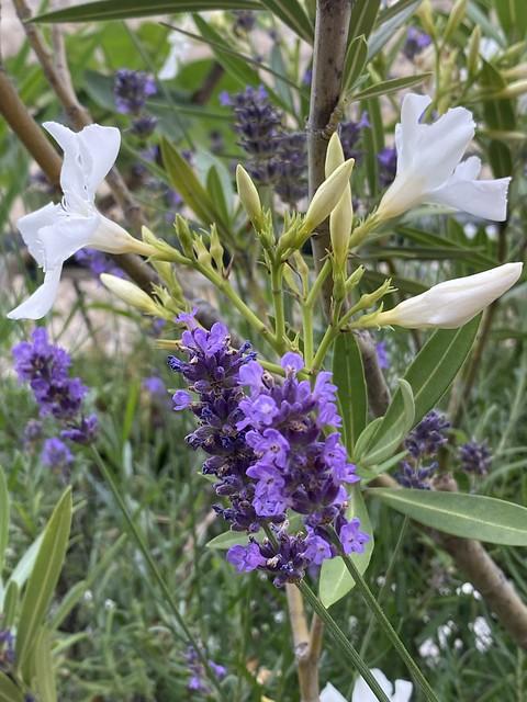 lavender and oleanders - Lavande et Lauriers roses