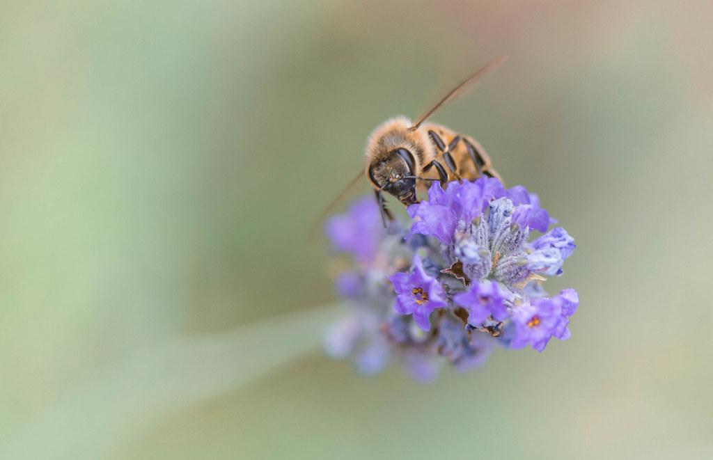 L'ape e la lavanda