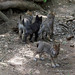 Gray Wolf Cubs