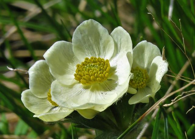 Alpine Anenome