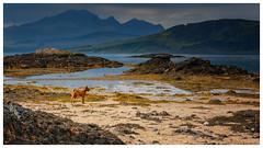 Hebrides for the Holidays - Irish Terrier arrives on Skye