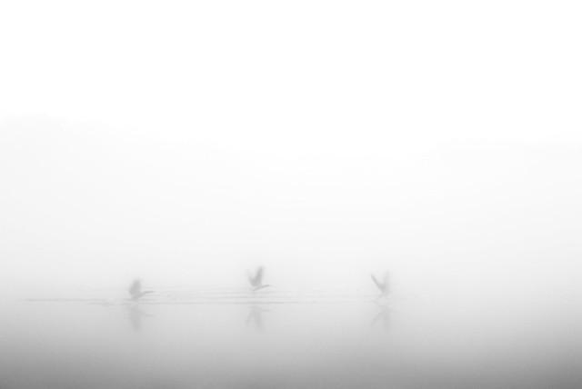 misty morning. little noise. geese in frantic flight.