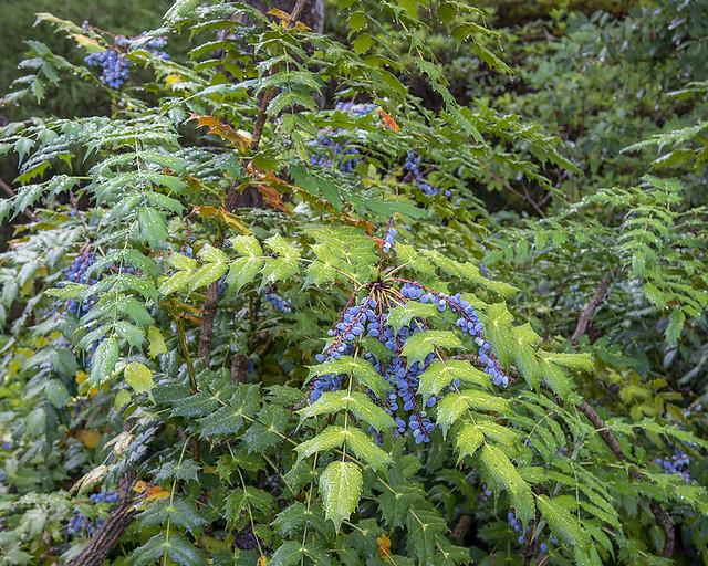 Mahonia, Summer woodland garden