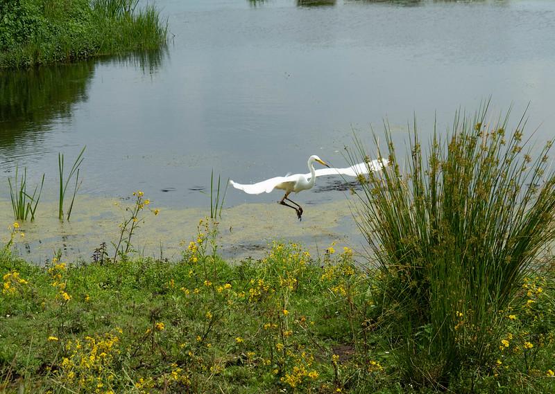 181-2021-365-(2008) Elevated Egret at Catcott